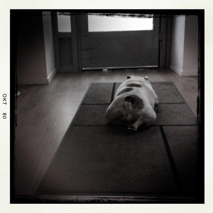 fransk bulldog i stockholm